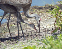 sandhill crane parent feeds its young one