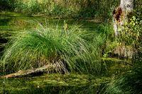 sedge grass on the rock ponds, Auerbach/Opf. , Fraenkische Alb, Franconia, Bavaria.