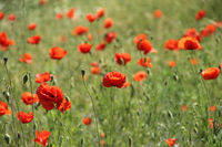 red blossoming poppies in spring time