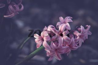 fresh pastel pink hyacinth blossom in spring