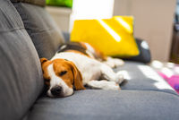 Beagle dog tired sleeps on a cozy couch in funny position. Adorable canine background