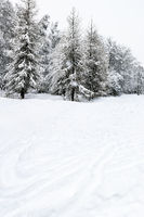 snowfield and snow-covered coniferous forest