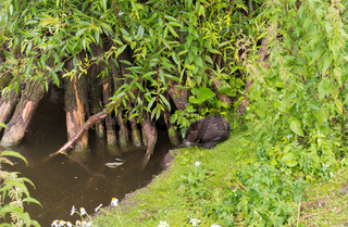 image of a beaver on the shore of a pond