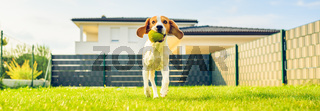 Dog grimaces and runs over through backyard. Funny beagle hound 5 years old. Hair style smooth