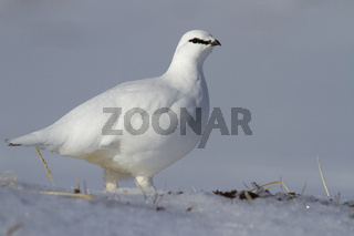 A male Rock ptarmigan in winter dress standing in a snowy tundra in a sunny day