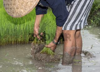 Reisanbau in der Reisfarm des Gemeinschaftsunternehmens Living Land, Luang Prabang, Laos