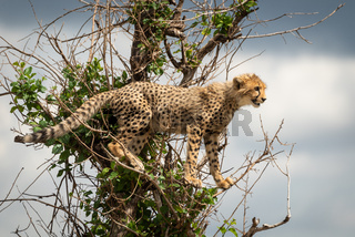 Cheetah cub stands in branches facing right
