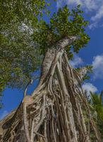 BANYAN TREE, FICUS BENGHALENSIS