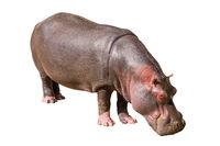 Common hippopotamus isolated on white background