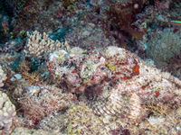 Humpbacked scorpionfish
