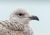 Juvenile Herring Gull Head Shot