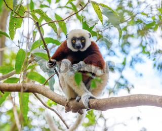 Coquerel's sifaka, Madagascar wildlife