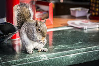 Cute squirrel stealing nuts from outdoor bar