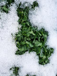 Feldsalat; Valerianella; locusta, Winter