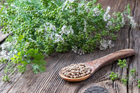 Coriander seeds with fresh blooming cilantro plant