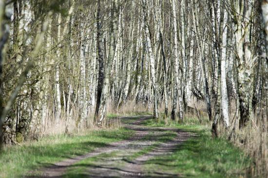 Birch tree forest in spring