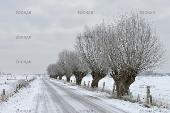 Row of pollarded willows ( Salix sp. ) along a little road at Bislicher Insel, Germany in winter