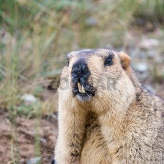 bobak marmot closeup