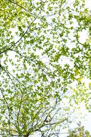 New green leaves on tree branches at spring. Twigs of spring tree.