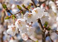 Fuji cherry, Prunus incisa