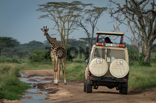 Masai giraffe stands before jeep on track