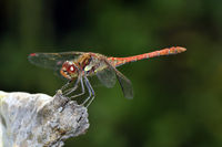 male common darter dragonfly Sympetrum striolatum