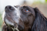 Close up portrait of a black and white brittany spaniel looking up with a shallow depth of field and focus on one eye.