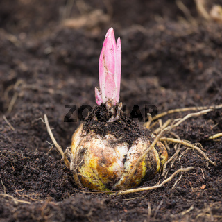 Flower bulb with sprouting purple lily