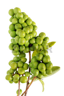 Unripe green berries of the wild forest  bushes of elderberry are like grape. Isolated