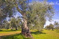 Olive tree plantation in the Extremadura (Spain)