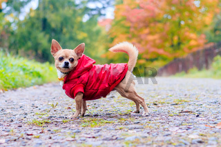 Chihuahua dog on a walk in the park. A small dog. Bright dog. Light color. Home pet.