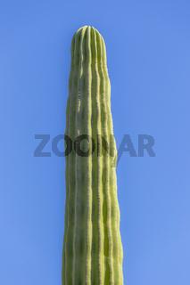 Mexikanischer Elefanten Kaktus Pachycereus pringlei