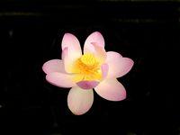 Lotus - First Lady