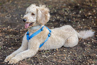Labradoodle (Labrador retriever and poodle cross breed) lying down.