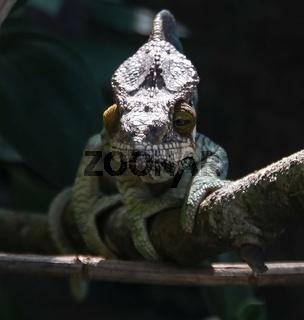 portrait of Parson's chameleon aka Calumma parsonii in Andasibe-Mantadia National Park, Madagascar