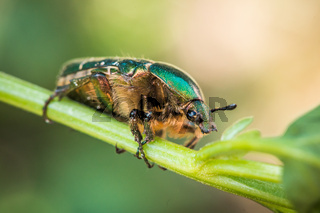 Cetonia aurata, called the rose chafer or the green rose chafer. A beetle on a green stem.
