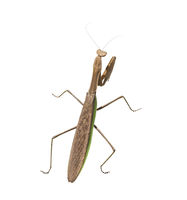 large praying mantis on  white background