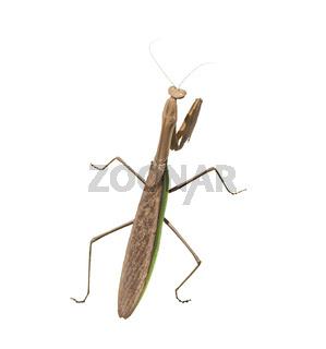 large praying mantis on  white background