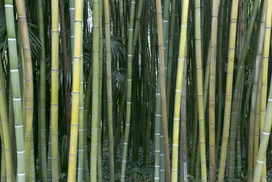 Fresh green bamboo
