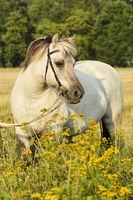 Liebenthaler Horse