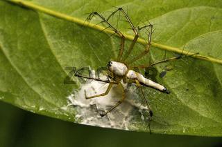 White lynx spider, Oxyopes shweta, Oxyopidae, Belianchip, Tripura