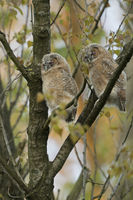 Tawny Owl * Strix aluco *, fledglings, moulting adolescents, perched high up in a tree