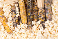 bunch of organic dried multicolored corn on the cob with already popped popcorn