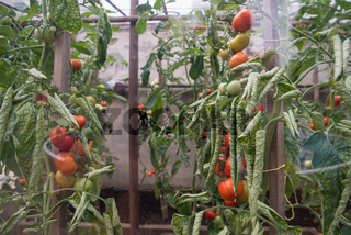 Mature tomatoes in the greenhouse, home vegetables. Organic food, growing healthy food at home
