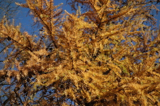 Larix europaea, Europaeische Laerche, European Larch
