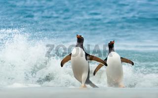 Two Gentoo penguins coming ashore from Atlantic ocean