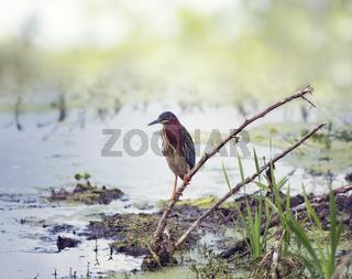 Green Heron in Florida swamp