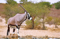 Oryx, Kgalagadi Transfrontier National Park, South Africa