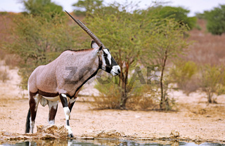Oryx, Kgalagadi-Transfrontier-Nationalpark, Südafrika | Oryx, Kgalagadi Transfrontier National Park, South Africa