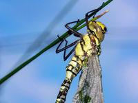 Blue-green Mosaic Dragonfly (Aeshna cyanea)